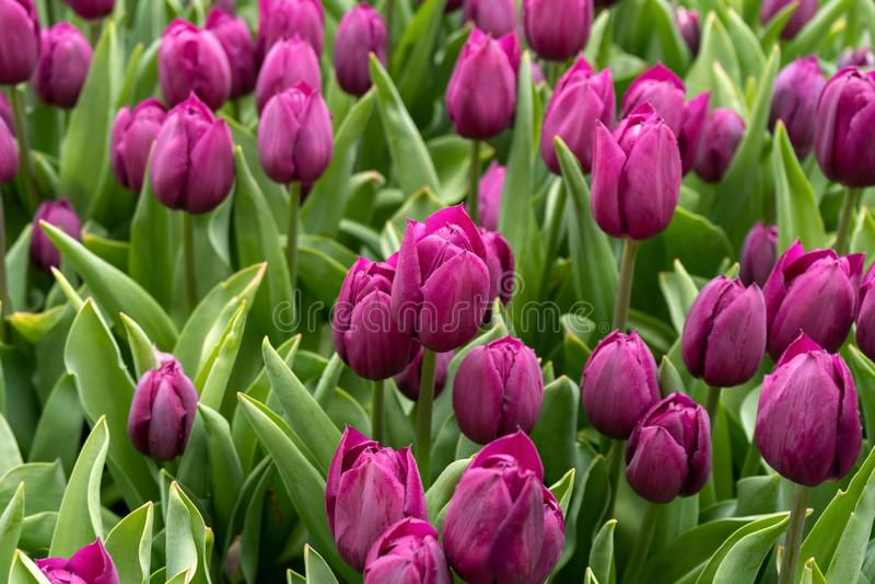 Purple tulip flowers in spring garden, park.  stock image