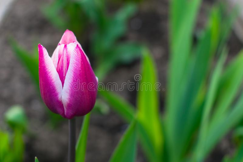 Purple Tulip in the garden. Wonderful Contrast Colors. Purple Tulip in the garden. Wonderful contrasting colors blurred with bokeh and green leaves stock photo