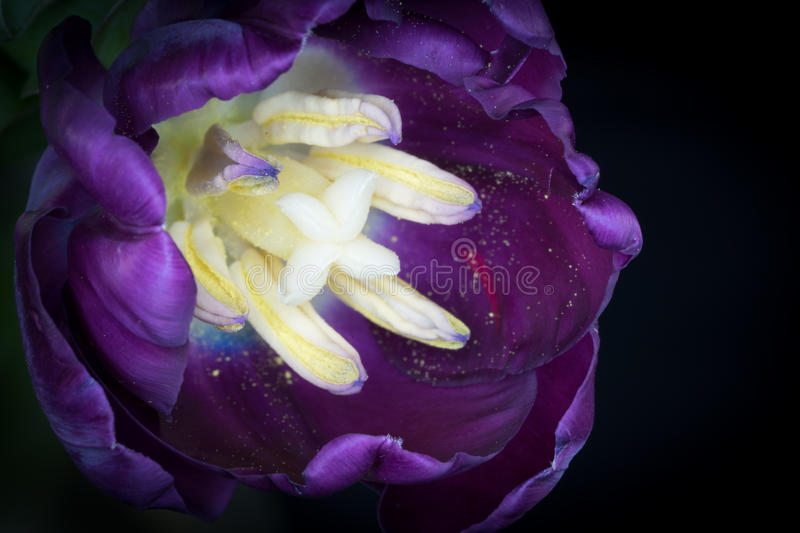 Purple Tulip stock photography