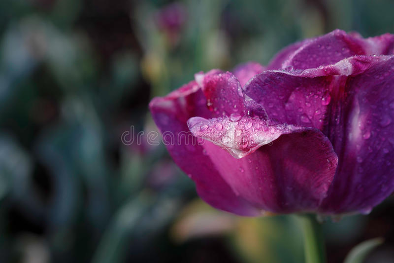 Purple Tulip Petal Water Droplets. Petals of a spring purple tulip in bloom drenched in dew drops from the morning mist stock photography