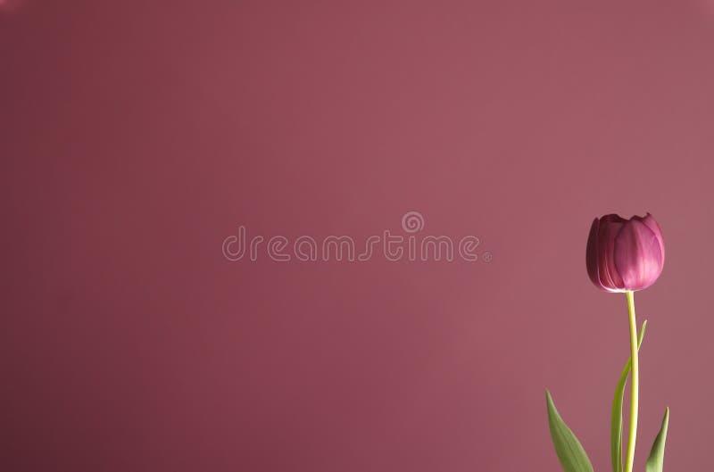 Purple Tulip On Purple 4 Stock Image