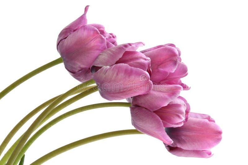 Download Purple tulips stock image. Image of gift, fresh, freshness - 12242775