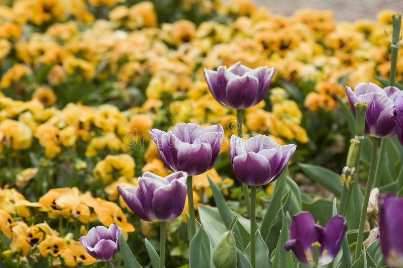 Download Purple Tulips Royalty Free Stock Images - Image: 5200619