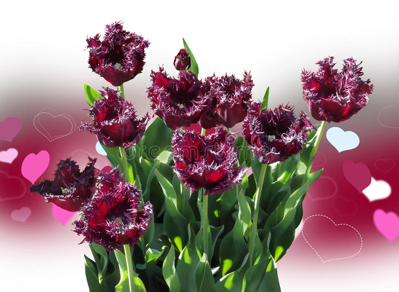 Purple tulips royalty free stock photography
