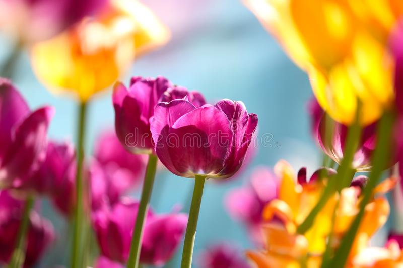 Purple colored tulips in the bright sunlight in spring surrounded by blurry yellow orange tulips in front of a grayish blue sky stock photo