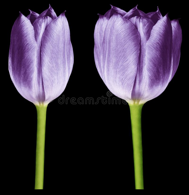Purple tulips. Flowers on the black isolated background with clipping path.  Closeup.  no shadows.  Buds of a tulips on a green st royalty free stock photos