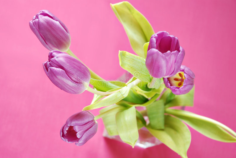 Purple Tulips on Pink royalty free stock photography