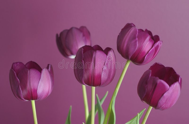 Purple tulips on purple 1. Group of purple tulips against a purple background, for a tone on tone effect