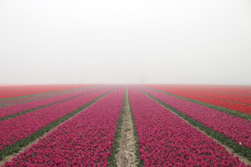Purple tulips in rows on  a flowerbulb field in Nieuwe-Tonge in the netherlands during springtime season and fog. Purple tulips in rows on a flowerbulb field in stock images
