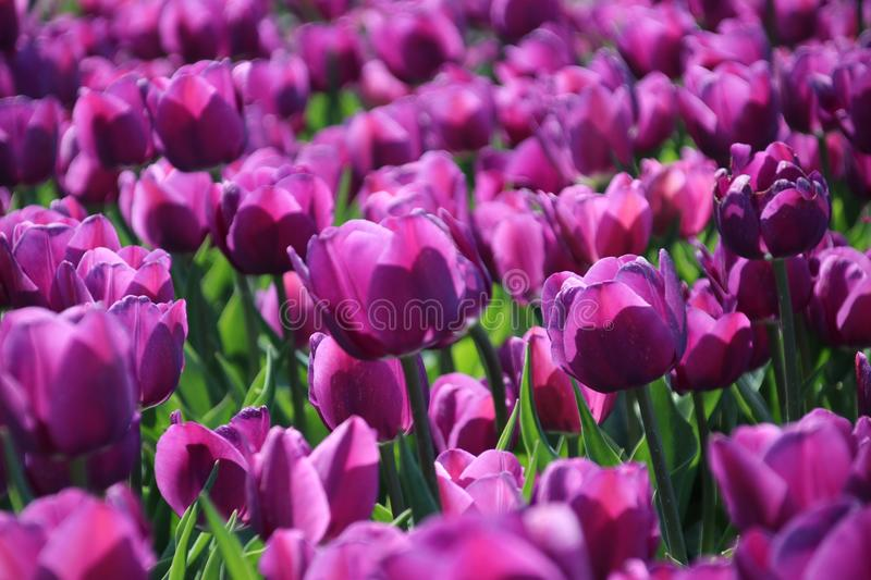 Purple tulips in sunlight in rows in a flower field in Oude-Tonge on the island Goeree Overflakkee in the Netherlands.  stock photography