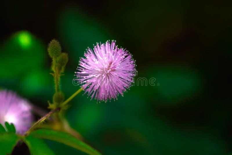 Purple turi flower. Purple thorn flower with flower beauty stock photos