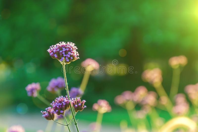 Purple verbena flower on the blurred background in the garden during sunset. Sun lights and bokeh on background royalty free stock image