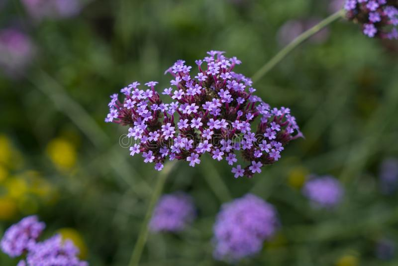 Purple VERBENA flowers. Bokeh behind verbena flowers royalty free stock photography