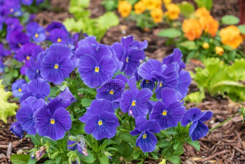 Purple violas bloom in a garden stock image