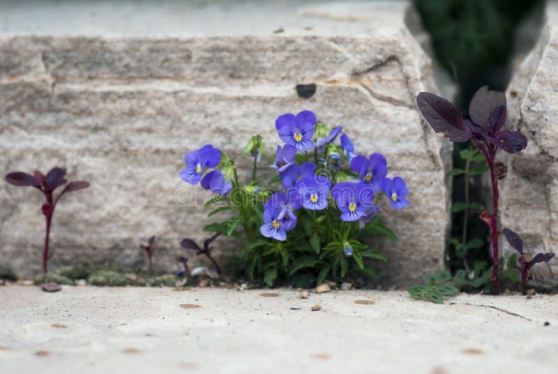 Purple Violas stock photos