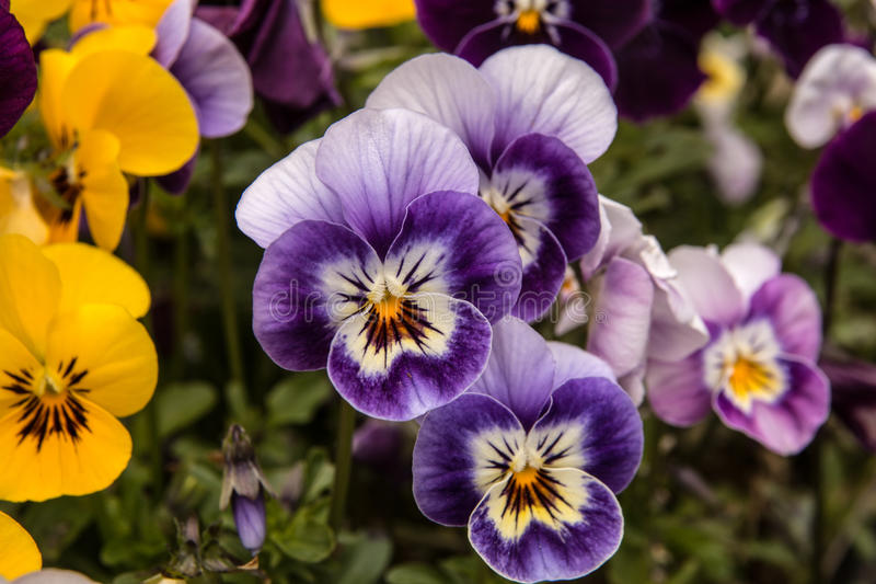 Purple Violas. Focus on the darker violas in a bed of mixed colors stock photography