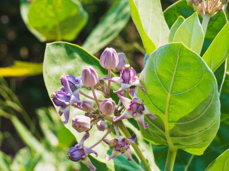 Purple or violet Calotropis gigantea. stock images