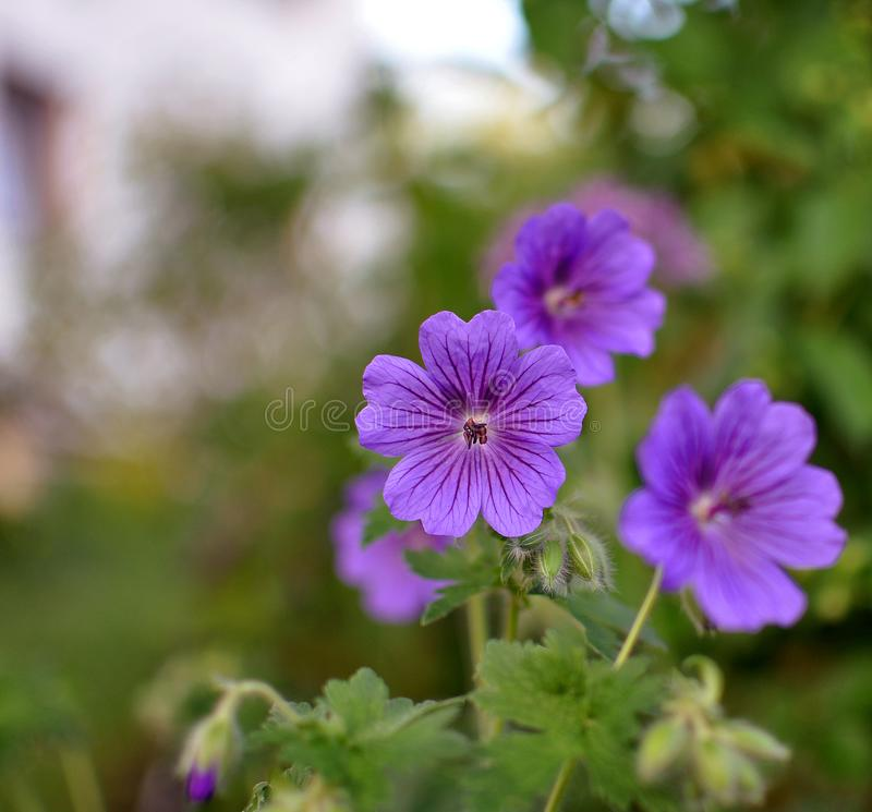 Purple violet flowers of geranium with blurred green background, close up, color of the year stock images