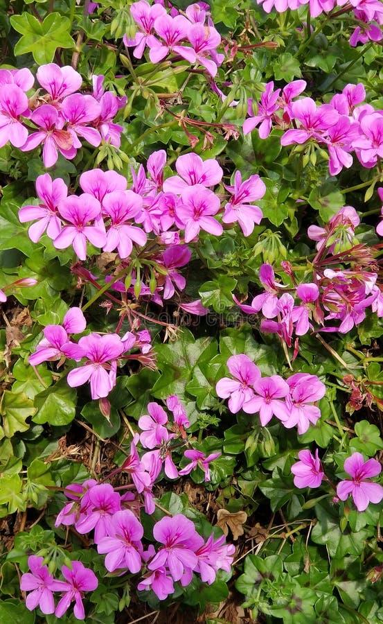 Purple Violet Geranium - Geranium soboliferum - Southern California Garden. Purple and violet Geranium soboliferum growing in a Southern California garden with royalty free stock images