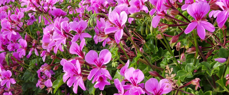 Purple Violet Geranium - Geranium soboliferum - Southern California Garden. Purple and violet Geranium soboliferum growing in a Southern California garden with stock photo