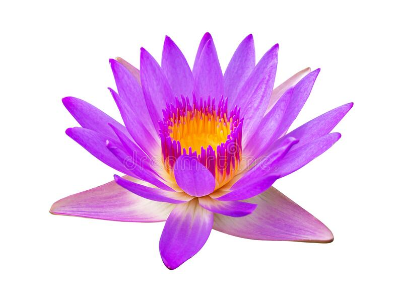 Purple violet lotus flower or water lily isolated on white background.  stock images