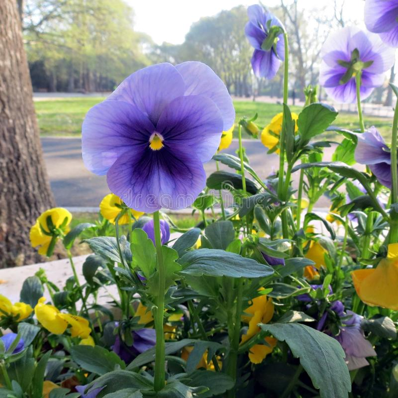 Purple violet pansy flowers, close-up of viola tricolor in the city garden. Floral background. Micro flower royalty free stock photography
