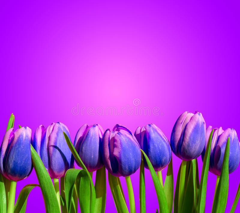 Purple violet tulips flower composition spring holiday greeting card. Graphic royalty free stock photos