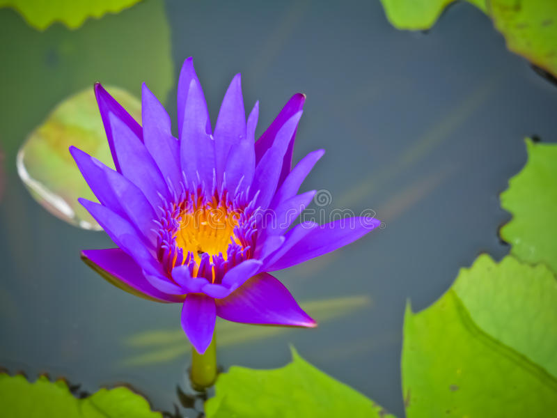 Purple violet water lily. With macro view stock image