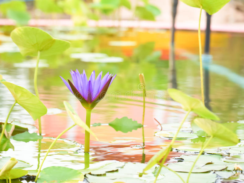 Purple violet water lily. Purple or violet water lily in small pond royalty free stock photos