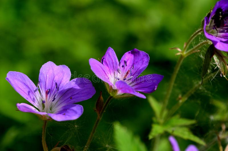 Purple and violet wildflower in summer forest royalty free stock photos