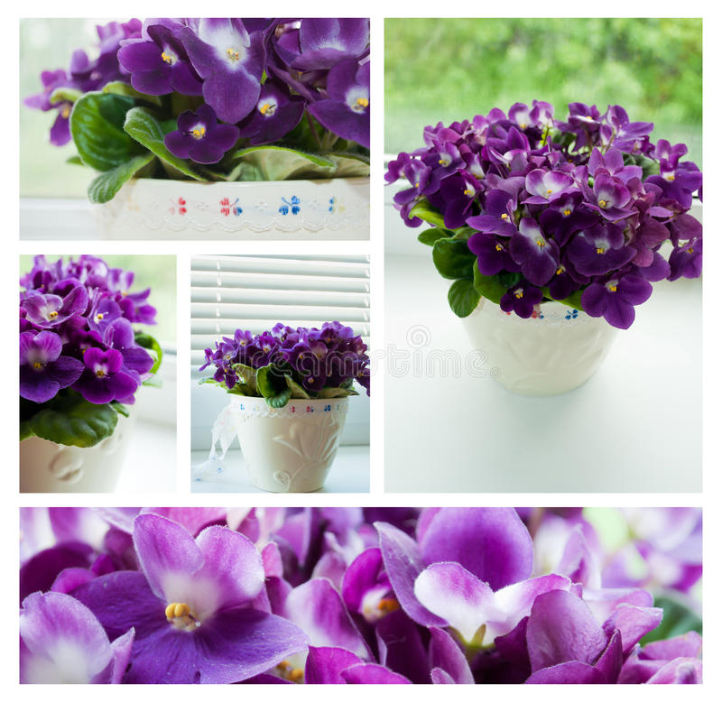 Purple violets collage royalty free stock photos