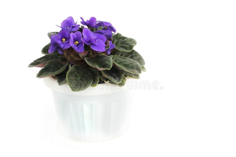 Purple violets in a pot on a white background royalty free stock photo