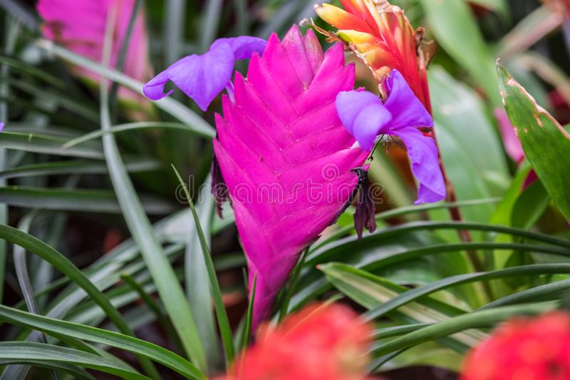 Purple Vriesea blossoms grow at greenhouse royalty free stock images