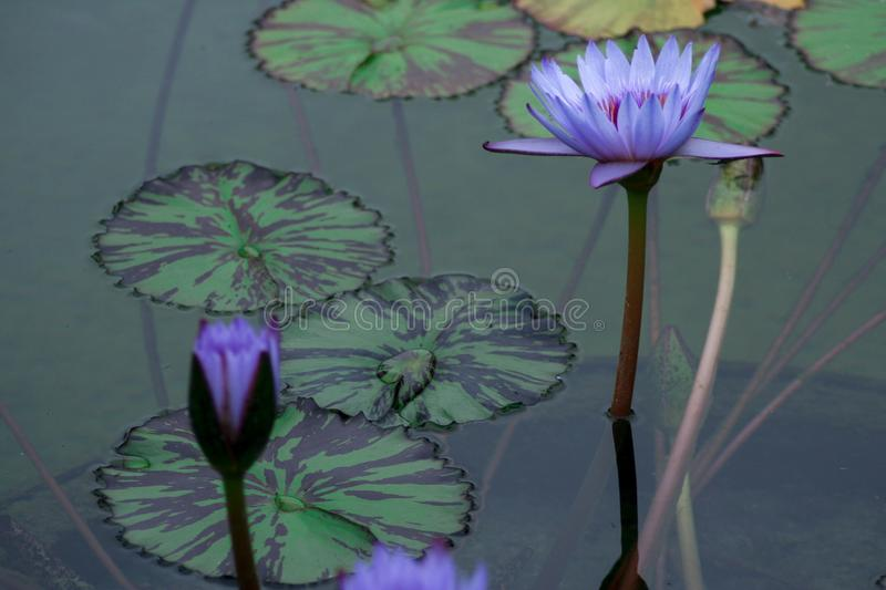 Purple water lilies rising above the water and reaching to the sun. Delicate and beautiful bright purple water lilies rising above green lily pads with royalty free stock photos