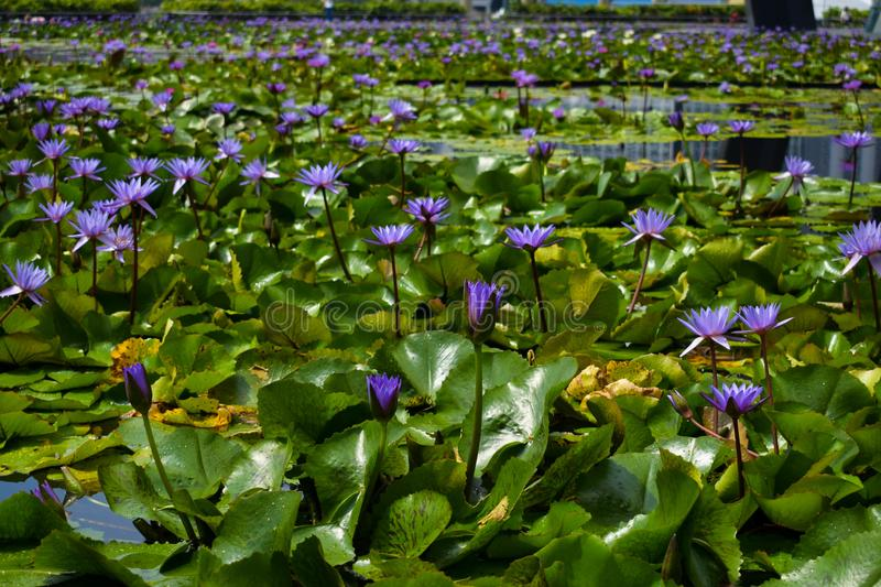 Purple Water Lilies. On a swamp royalty free stock images