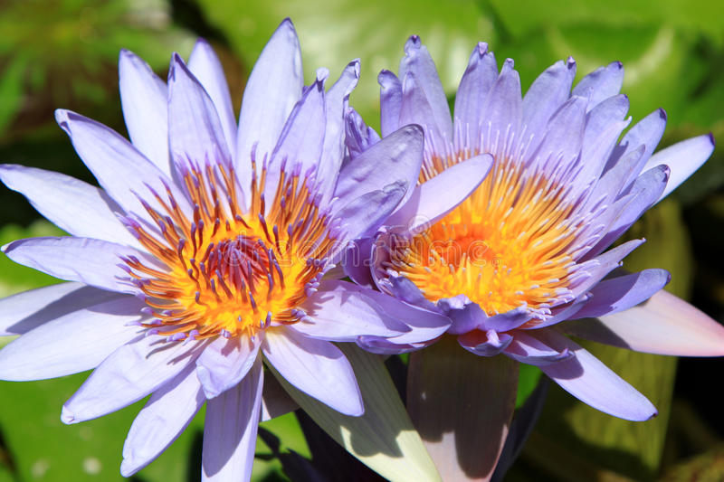 Purple Water Lily Flowers. Tropical purple water lily flowers in the sun royalty free stock photography
