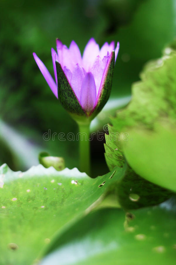 Purple water lilly royalty free stock image