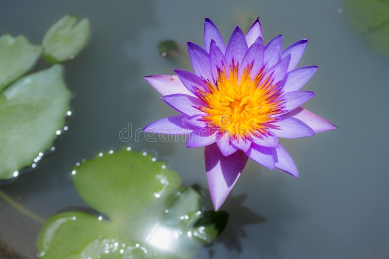 Purple water lilly. Blossom purple water lilly in the pond stock image