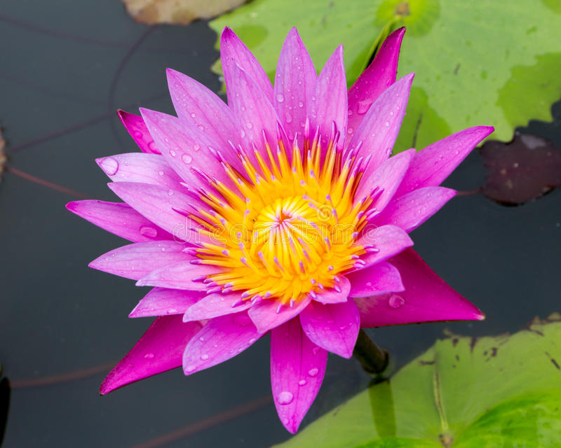 Purple water lilly on water background with leaves royalty free stock image
