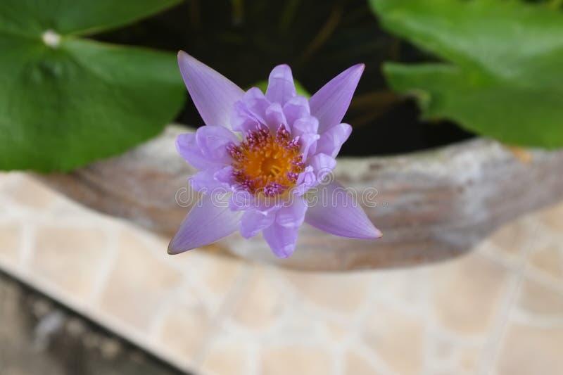 Purple water lilly on water background. THAI purple lotus stock photos