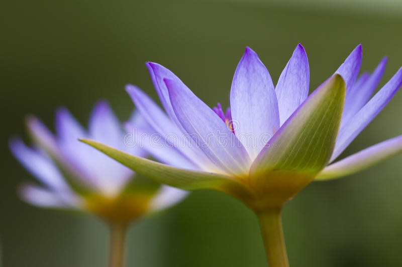 Purple water lily stock images