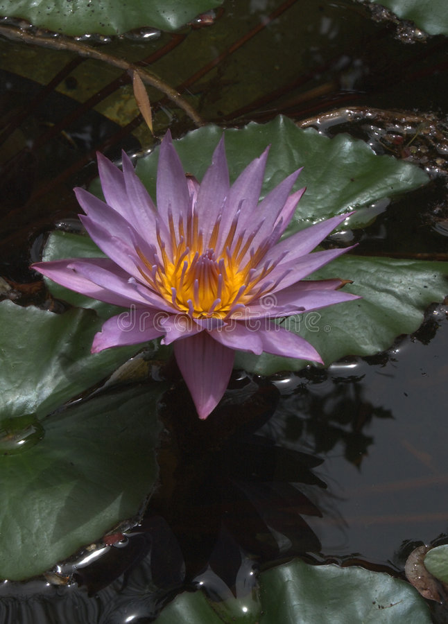 Purple water lily. Water lily on pond royalty free stock photos