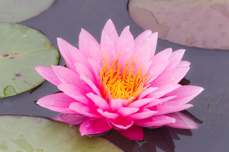 Purple water lily. Purple water lily in pond stock image
