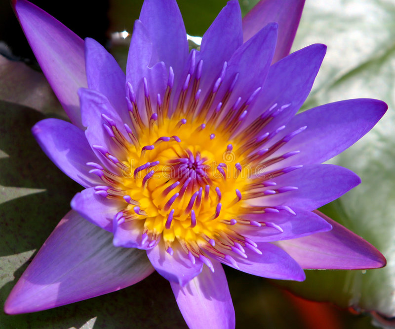 Purple Water Lily stock image