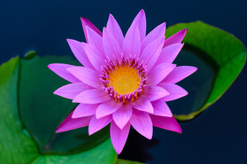 Purple Water Lily. In Swamp stock photos