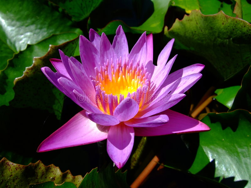 Purple water lily. Beautiful Purple water lily in full bloom stock image
