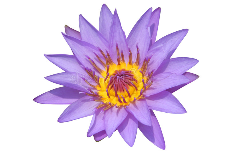 Purple water lily. Beautiful purple water lily isolated on white background stock photography