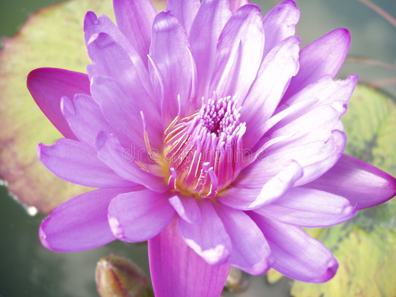 Purple water lily. Macro view of a beautiful purple water lily royalty free stock photo