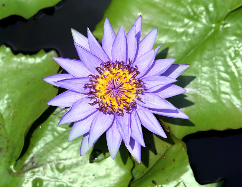 Purple water lily. Beautiful purple flower lily pond light stock image