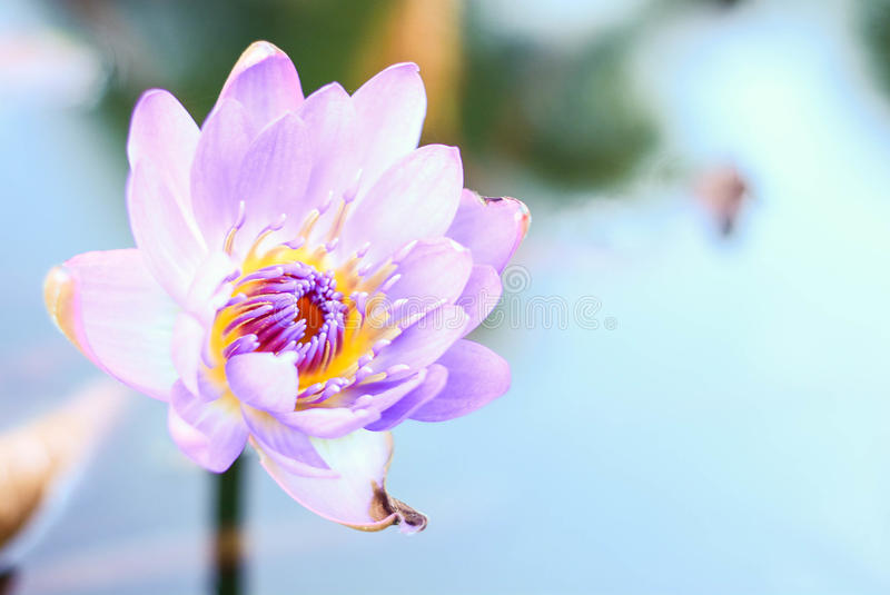 Purple Water Lily. Beautiful purple water lilly and the reflection of sky in water royalty free stock image